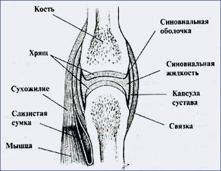 части сустава сустав состоит из